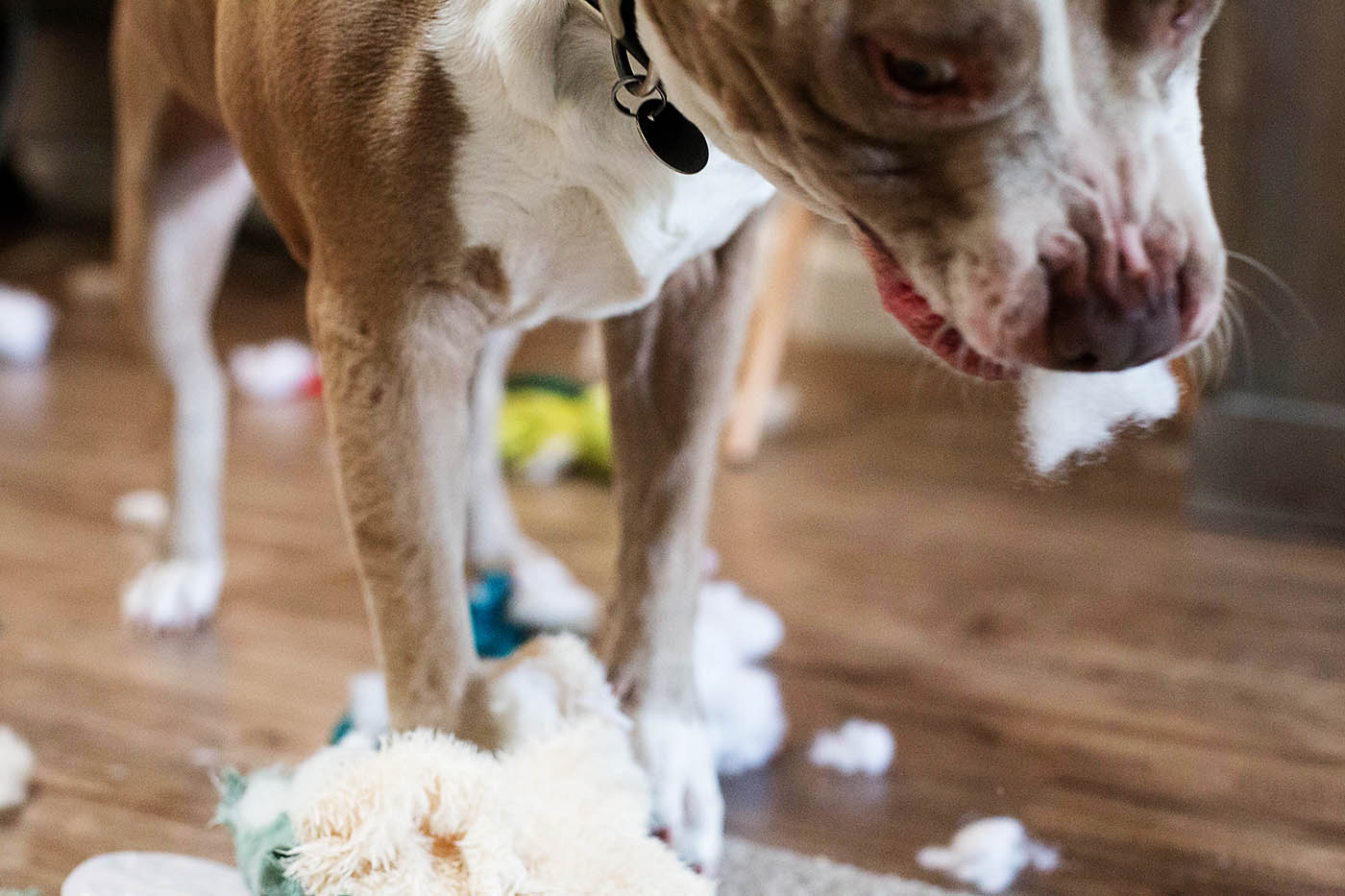 The Destroyers Club with BARK is perfect for dogs who LOVE to destroy toys!